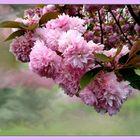Flor de cerezo.