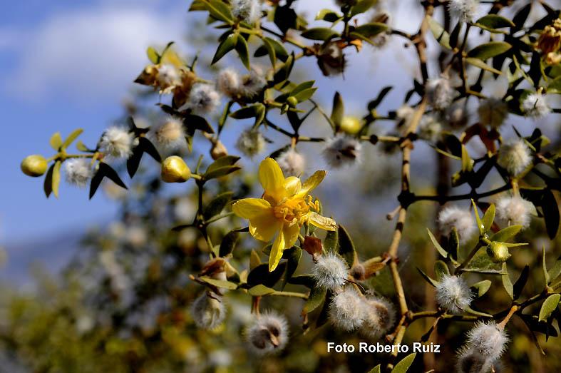 Flor de Chañar