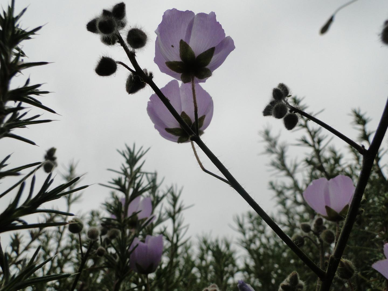 flor de gris