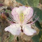 Flor de la alcaparra.