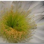 Flor de la noche III (para Maria João)