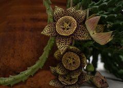 Flor de la orbea variegata -1