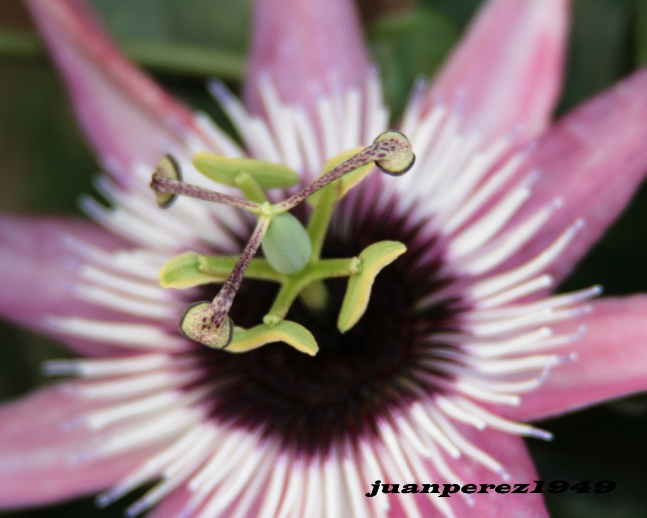 Flor de la pasión 1