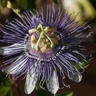 Flor de la pasión (passiflora cerulea)