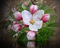 Flor de Manzanero