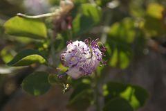 Flor de Menorquina