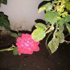 Flor De Noche II