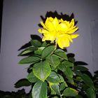 Flor De Noche IV