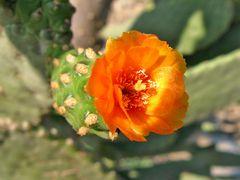 Flor de Opuntia