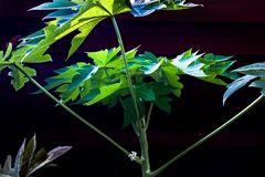 Flor de papaya
