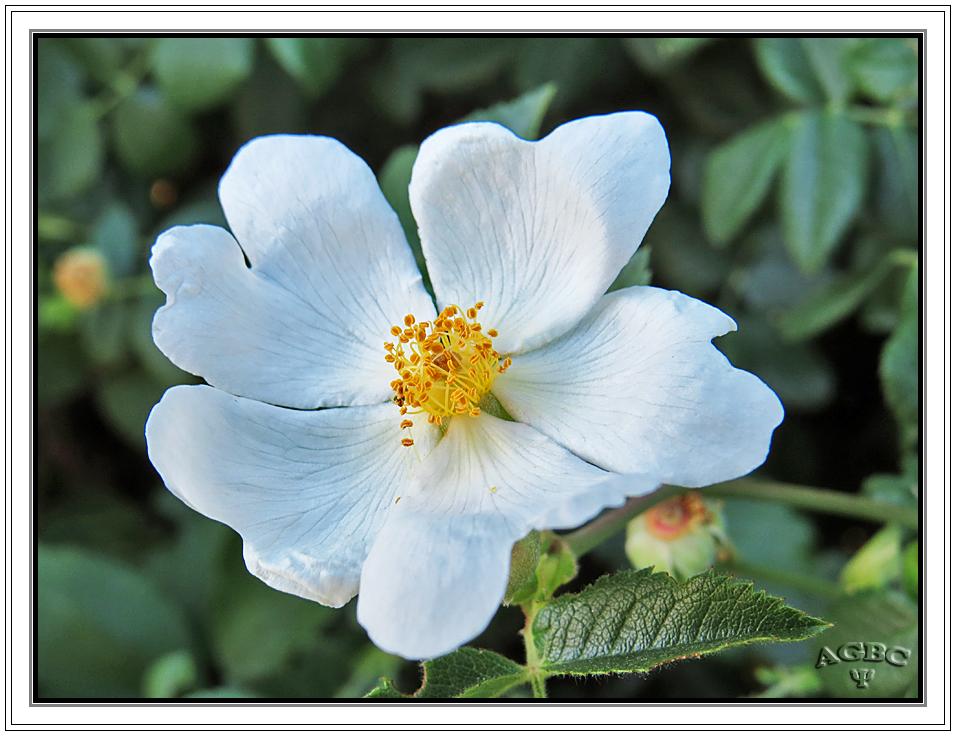 Flor de rosal salvaje