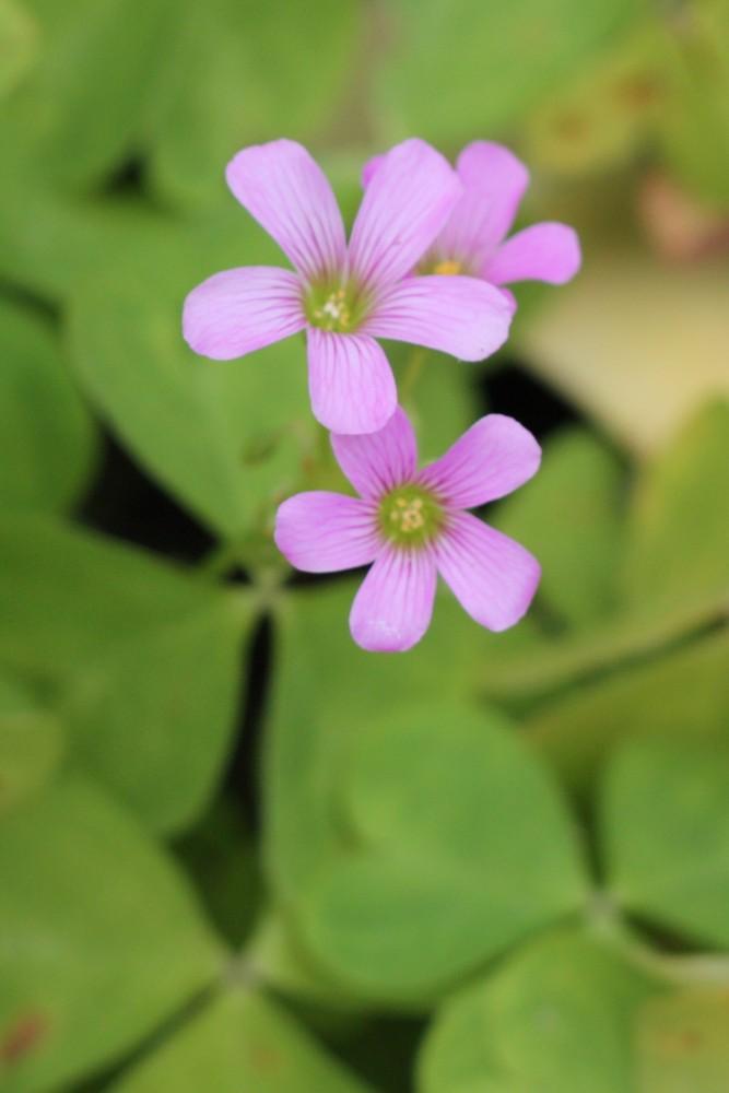 flor de trebol