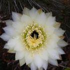 Flor del catus