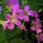 Flor del Trébol