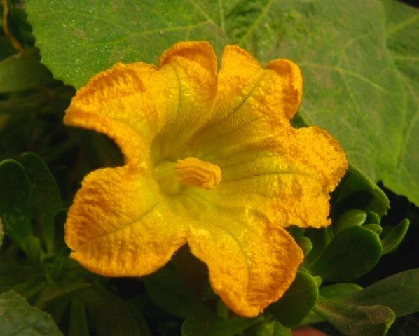 Flor del zapallo