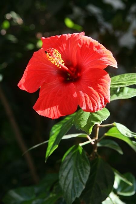 "flor ""hibiscus"""