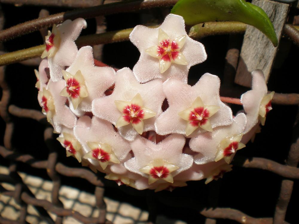 Flor se Cera
