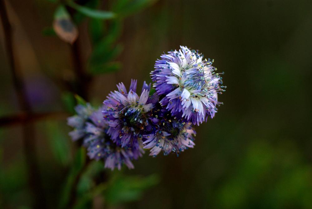 Flor silvestre III