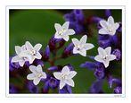 FLORA CANARIA (Limonium cortesia de JJMendez)
