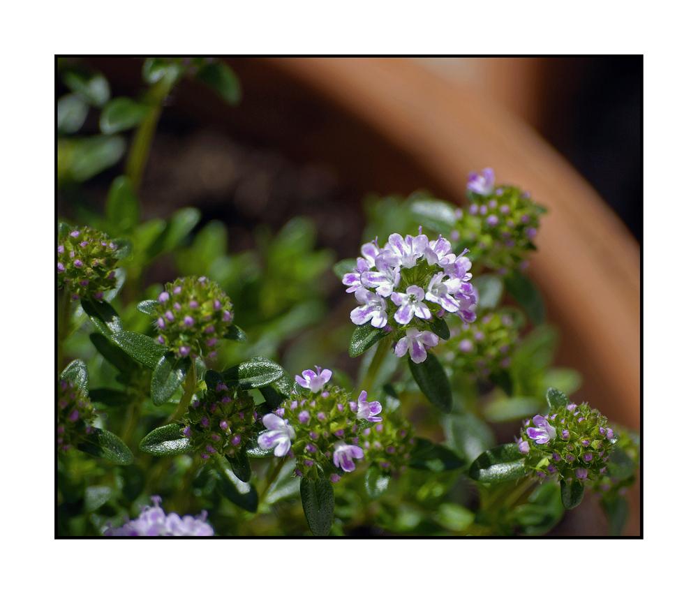 Flora VIII