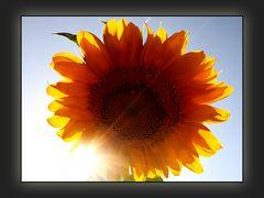 Florale Sonnenfinsternis   /   Eclisse solare floreale
