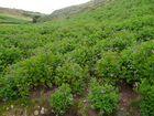 Floreciendo la papa andina en Antaparco - Huancavelica
