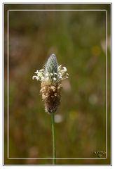 Florecilla del campo
