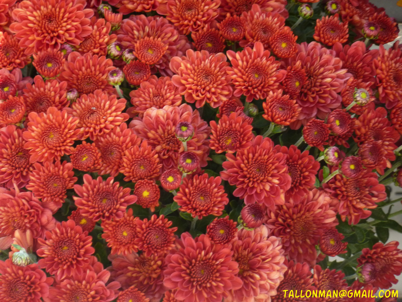 Flores (60)