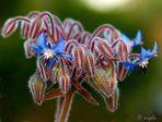 Flores de berenjena