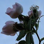 Flores que al atardecer....miran al Cielo Azul