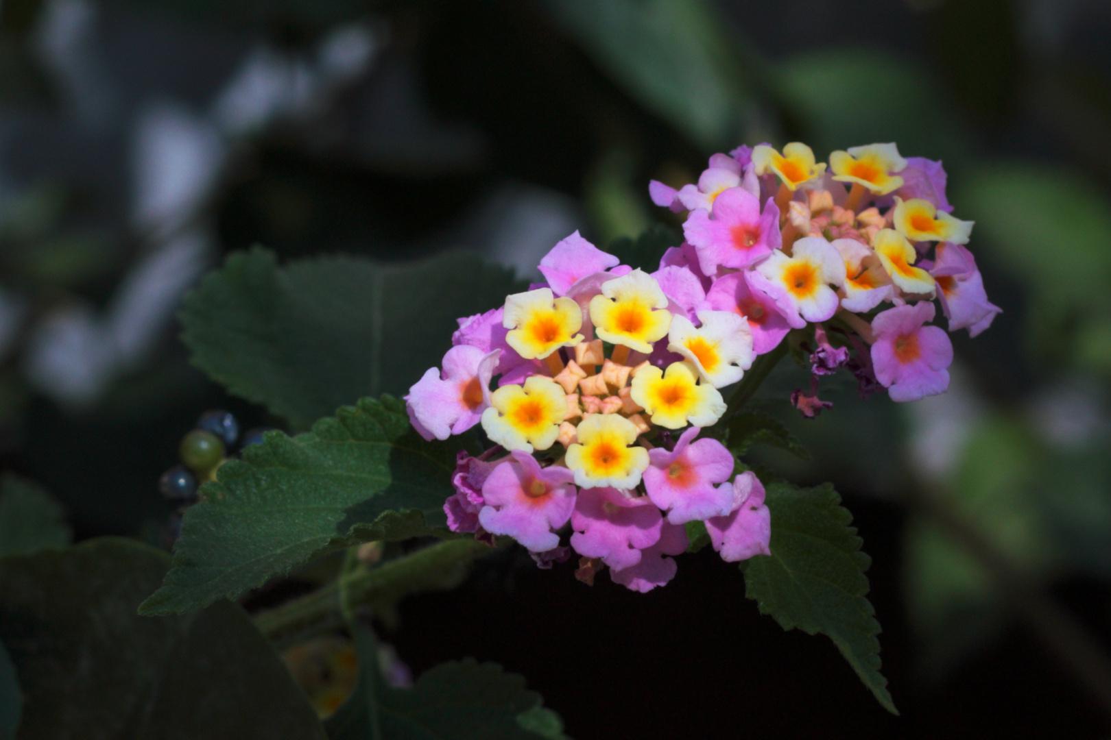 flores sin mucho sol