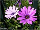 Flores Violetas