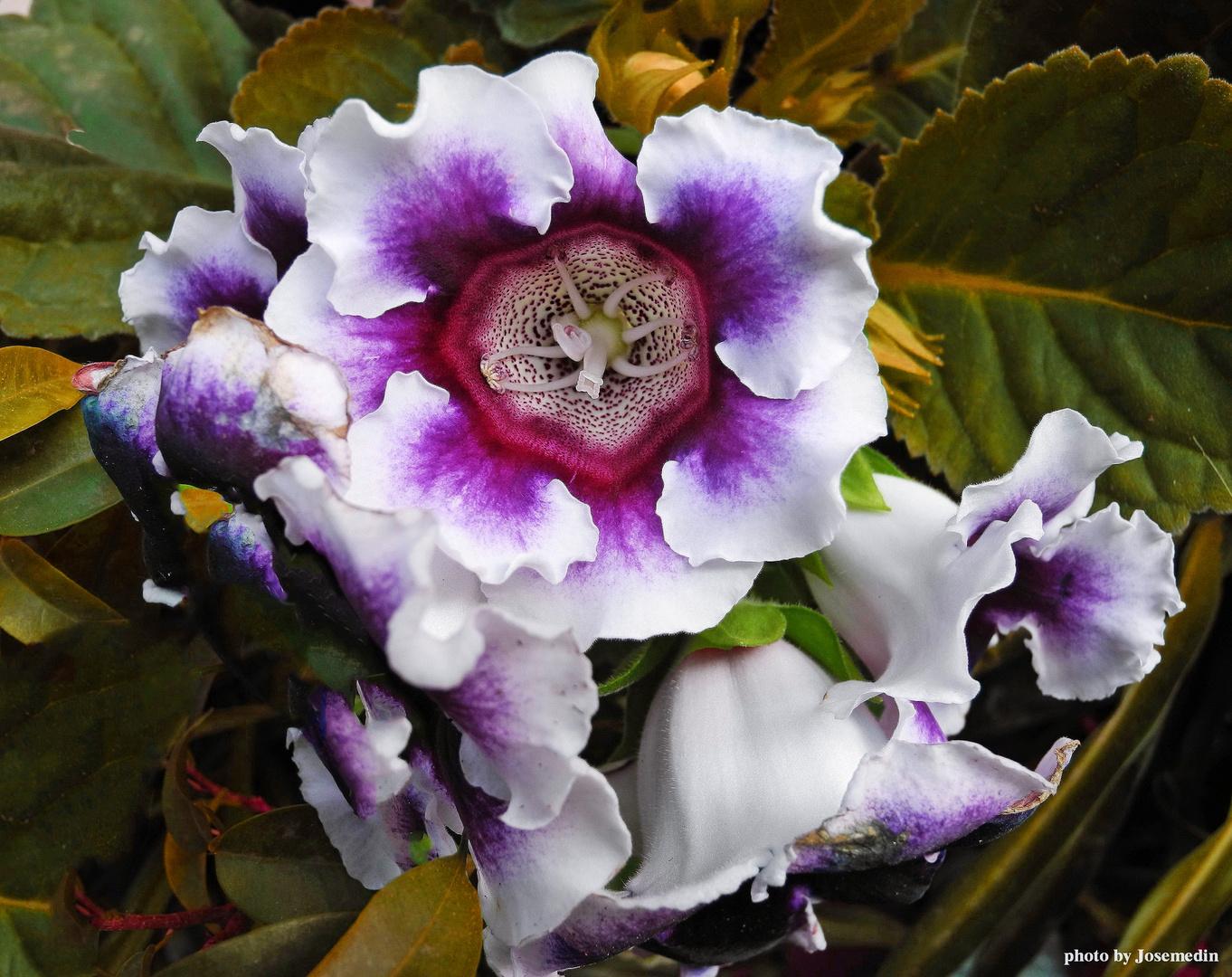 Floresprima