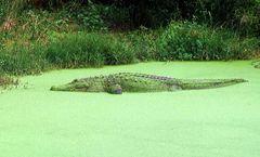 Florida - Alligator 2