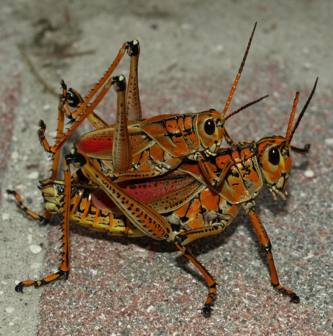 florida grasshoppers
