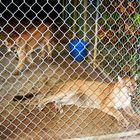Florida Panther im Everglades Nationalpark