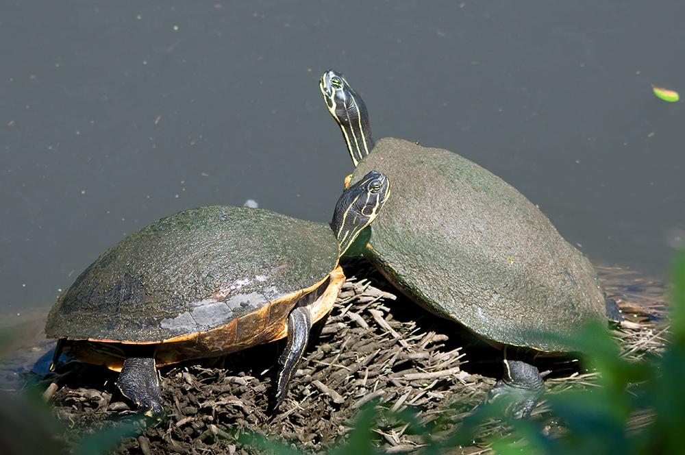 Florida-Schmuckschildkröten - Florida Cooter (Pseudemys floridana)...