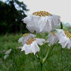 Floris Folia
