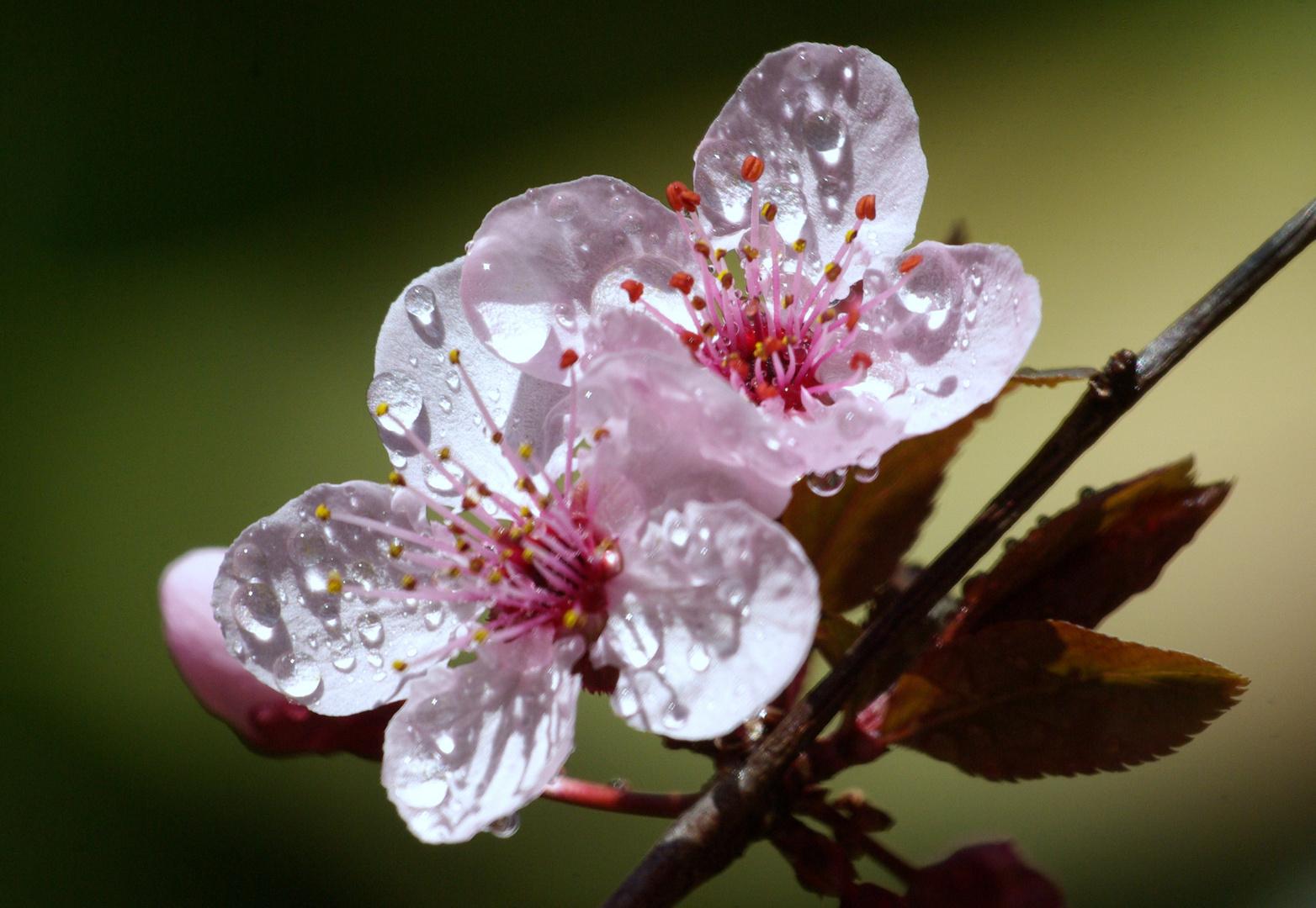 Flor(Prunus Persica)