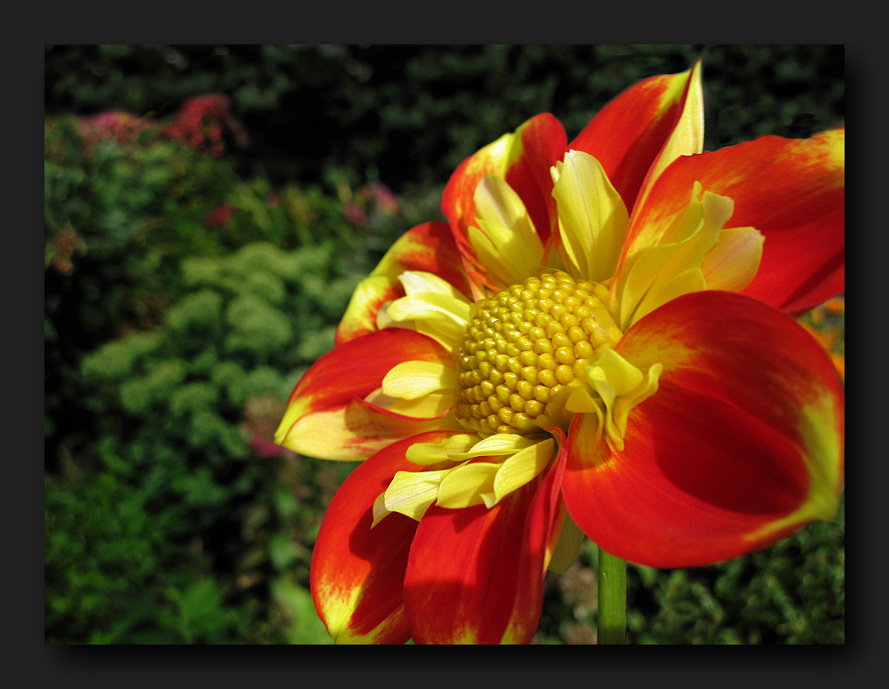 Flower colours: red & yellow