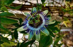 Flower ( de maracujá )