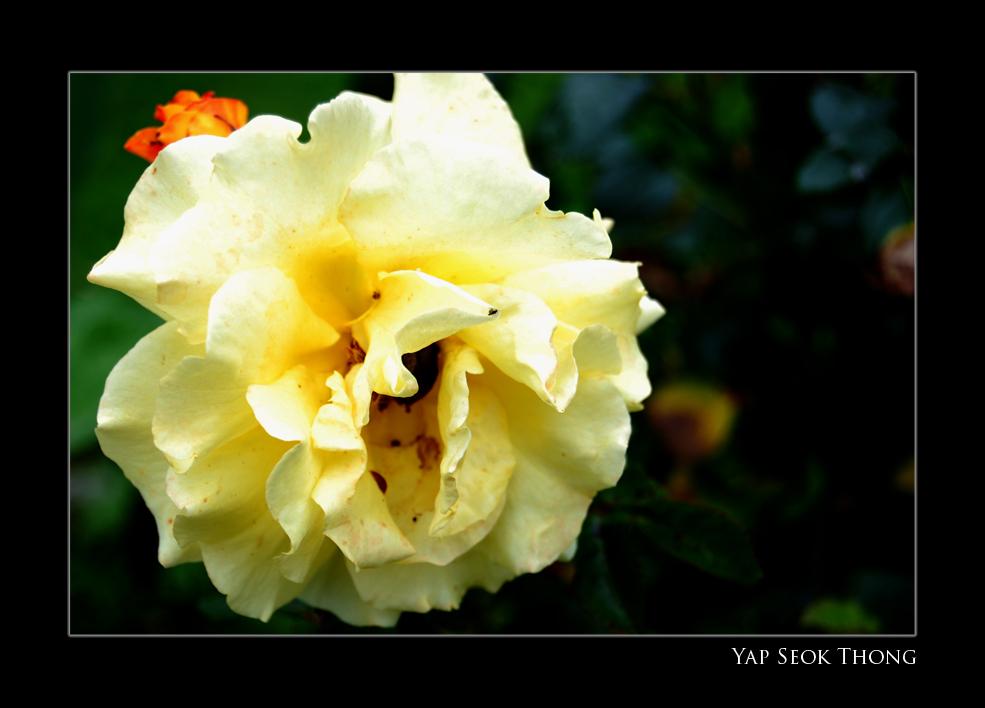 Flower from neighbour's garden