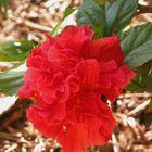 Flower in Kalbarri