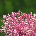 FLOWER OF A WILD GARLIC
