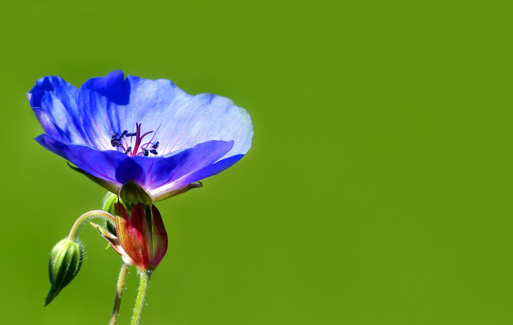 Flower of garden geranium