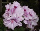 Flower of geranimus