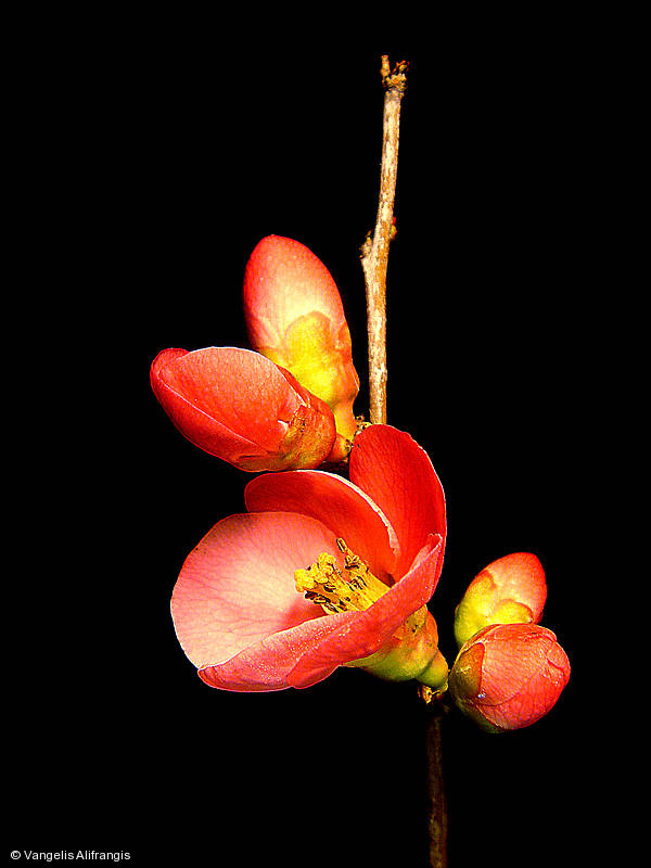 Flower of Sintonia