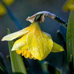 Flower of Wales