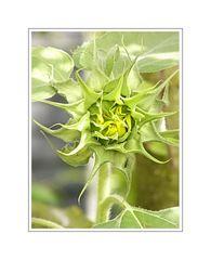 Flower Portrait 05 (Sonnenblumen Knospe)