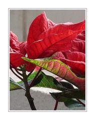 Flower Portrait 07 (Weihnachtsstern)